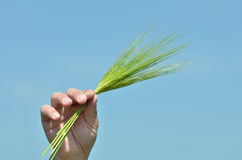 Agriculture concept. Hand holding some green ears of wheat against the blue sky in the background Stock Images