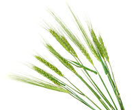 Green ears of wheat isolated Royalty Free Stock Photos