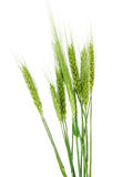 Green ears of wheat isolated Stock Photos