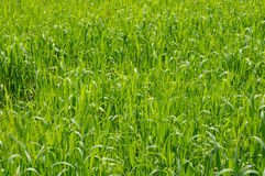 Green ears of wheat in spring morning Royalty Free Stock Photo