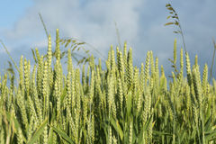 Green ears of wheat in a sunny field against the cloudy blue sky Stock Photo