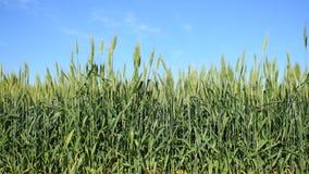Green ears of wheat. Under blue sky stock footage