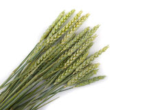 Green ears of wheat. On a white background Stock Photos
