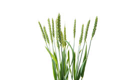 Green ears of wheat Stock Photography