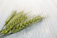 Green ears of wheat. Royalty Free Stock Photo