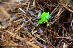 Eastern Dwarf Tree Frog. A green Eastern Dwarf Tree Frog sitting on sugarcane mulch Stock Photos