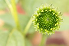 Young Echinacea flower head lime green with a blurred pastel background. Green Echinacea flower head close up positioned on right of image with a pastel stock image