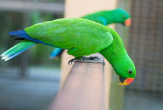 Green eclectus parrot Stock Image