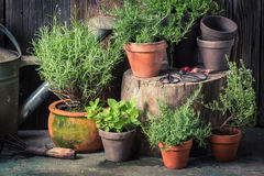 Green and ecological herbs in the countryside. In summer Stock Photo