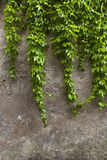 Green edera wall Royalty Free Stock Photo