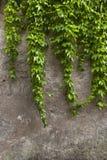 Green edera wall Royalty Free Stock Photo