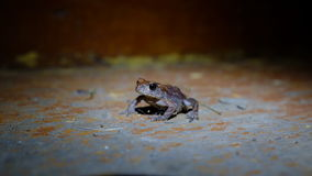 Green edible frog in night Stock Photo
