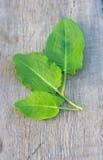 Green edible leafs sorrel Stock Image