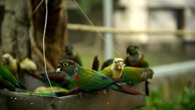 Green electus parrots without sound. Green electus parrots eating Sun Flower seed on hand stock footage