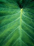 Green Elephant Ear Leaf background Stock Image