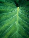 Green Elephant Ear Leaf background stock image