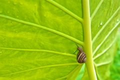 Green Elephant Ear Leaf with Snail. Green Elephant Ear leaf with slimy snail crawling up it's main stalk Stock Image