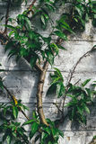 Green Eleptical Leaf Plant Growing Beside Gray Concrete Wall Royalty Free Stock Photography