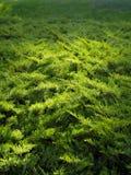Green elfin wood texture. Green elfin wood floral background illuminated by evening sun Stock Photos
