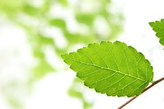 Green elm leaves Stock Image