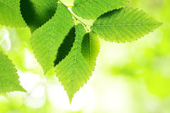Green elm leaves Royalty Free Stock Photography