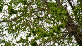 Green elm seeds covering twigs against sky natural grading stock footage