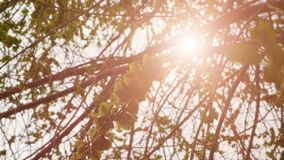 Green elm seeds covering twigs with flickering sun stock video