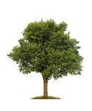 Green elm tree, isolated Stock Images