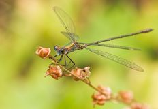 Green emerald damselfly Royalty Free Stock Images