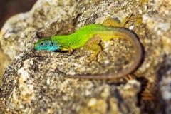 Green emerald glossy gecko lizard sunbathing on a rock Stock Photography