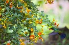 Green-Emerald Hummingbirds Royalty Free Stock Images