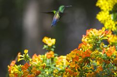Green-Emerald Hummingbirds Royalty Free Stock Image