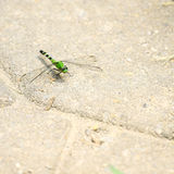 Green Emporer Dragonfly Royalty Free Stock Image