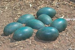 Green emu eggs Royalty Free Stock Photos