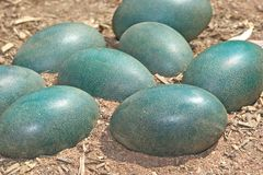 Green emu eggs Royalty Free Stock Images