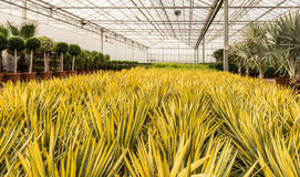 Variegated Yucca plants at Dutch nursery royalty free stock photo