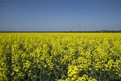 Green energy source. Field of rapeseed. Yellow colza field in bloom. Blue sky stock image