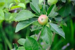 Green English apple, with red blush, ripening Royalty Free Stock Images