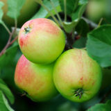 Green English apples, with a red blush, ripening Royalty Free Stock Photography