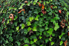 Green English Ivy royalty free stock photos