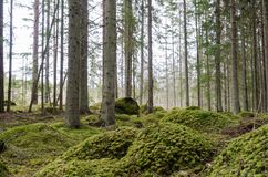 Moss covered ground in a spruce tree forest Stock Photos