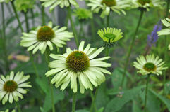 Green Envy Echinacea. The distinctive color of Green Envy Echinacea Stock Image