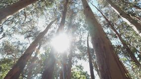 Green eucalyptus forest on a bright sunny day, rotation camera, beautiful natural landscape 4k