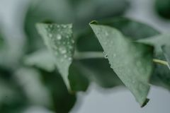 Green Eucalyptus with water Drops. Macro water drops, light green leaes, romantic and spa, relaxing palette stock photo