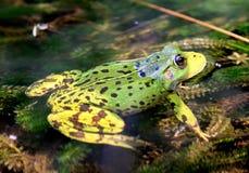 Green European frog Stock Photography