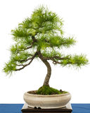 Green european larch (Larix decidua) as bonsai tree Stock Photo