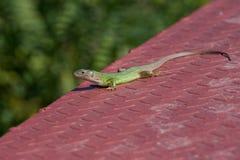Green european lizard on metal surface . Green Lizard Lacerta v Royalty Free Stock Photos