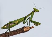 Green European Mantis Macro Closeup Stock Photo