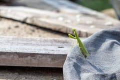 Green European Mantis or Praying Mantis, Mantis religiosa Royalty Free Stock Photography