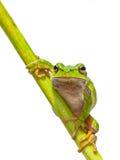 Green European Tree frog frontal diagonal Stock Photo